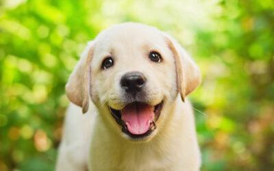 Nödvändiga tillbehör för ens labrador