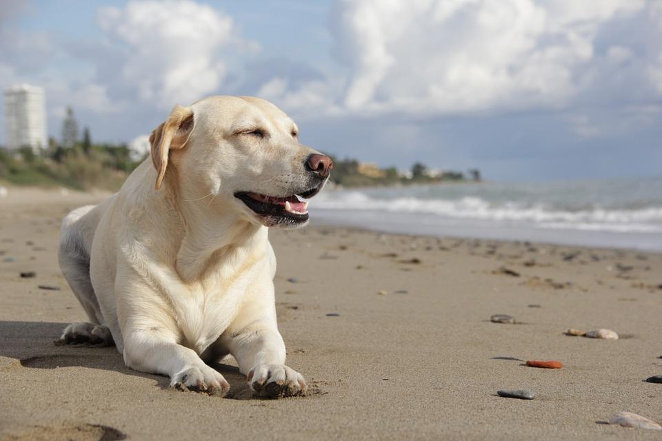 Lycklig labrador
